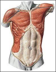 À quel niveau situez-vous le muscle deltoïde ?
