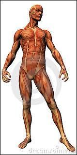 À quel niveau situez-vous le muscle trapèze ?