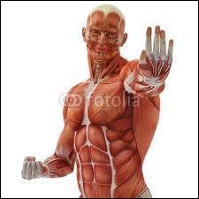 À quel niveau situez-vous le muscle sterno-cléido-mastoïdien ?