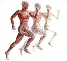 À quel niveau situez-vous les muscles lombricaux ?