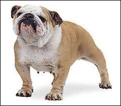 Quel adjectif est le plus approprié au museau de ce bulldog anglais ?