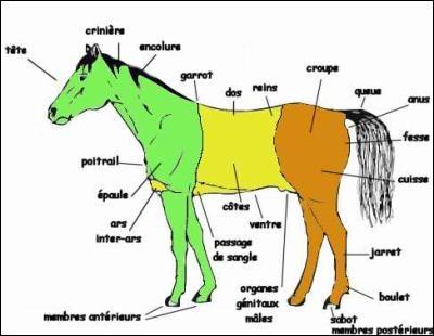 Sur quelle partie du cheval se situe l'auge ?