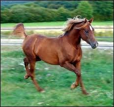 Ce cheval est un :