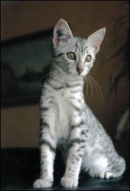 Ce chat est de race :
