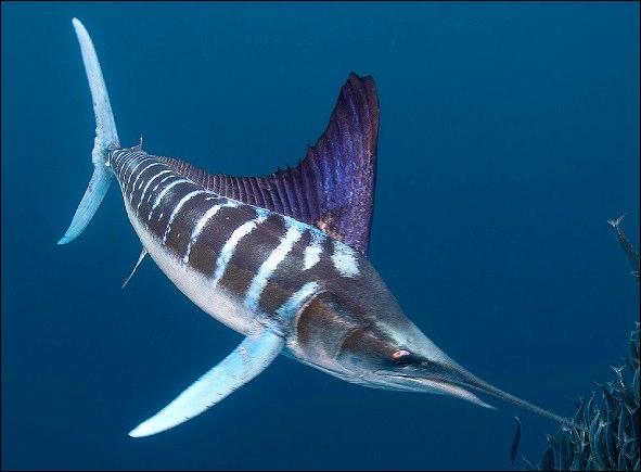 A quelle espèce appartient ce poisson ?