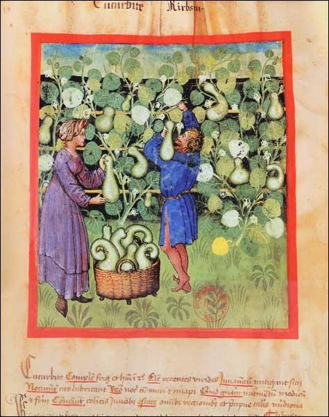 """""""Lagenaria vulgaris """"est la seule courge que l'on trouvait en Europe, au Moyen Âge. L'écorce séchée servait à fabriquer les gourdes du pèlerin. De quel ouvrage l'illustration est-elle tirée ?"""