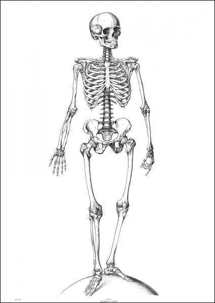 Combien d'os articulés le squelette humain comporte-t-il ?
