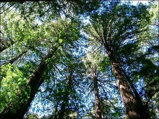Le séquoia sempervirens est un conifère originaire de Californie. Quelle est la taille moyenne de cet arbre ?