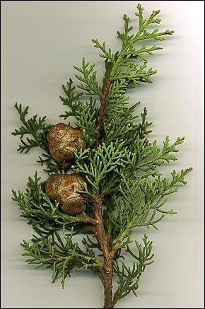 A quel conifère appartient cette branche ?