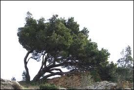 Quel est ce résineux appelé aussi  pin de Jérusalem  ?