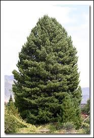 Quel est ce conifère appelé aussi  pin arolle  ?