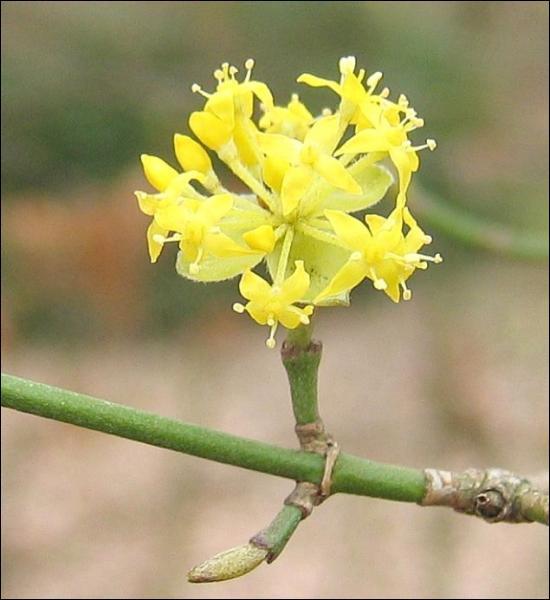 Je fleuris avant la feuillaison, je suis un arbuste indigène et très courant dans les haies, je suis...