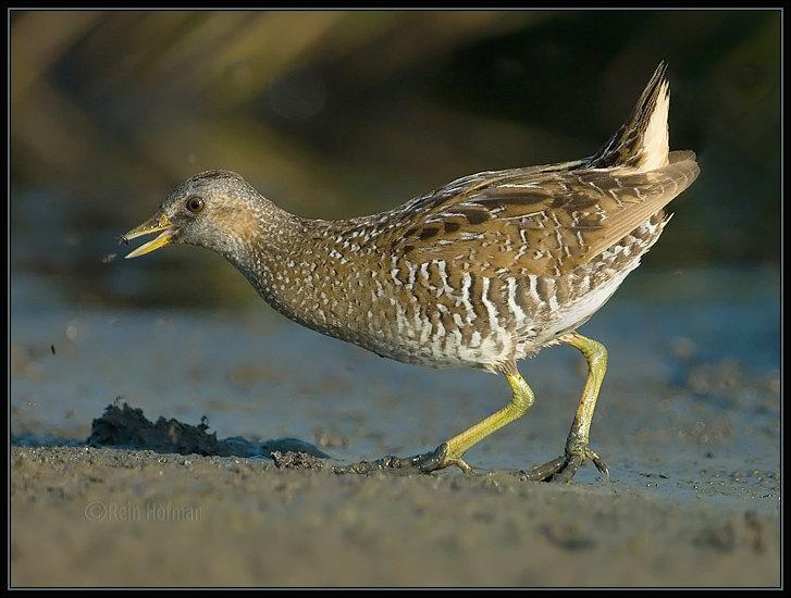 Espèce d'oiseau, petit échassier migrateur, voisin des râles :