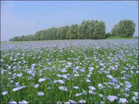 Graine produisant une plante herbacée, à fleurs bleues. La fibre très résistante :