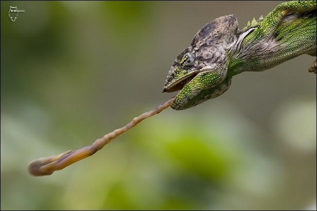 La langue du caméléon est-elle 3 fois la longueur de son corps ?