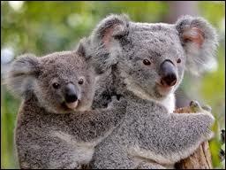 Quelle est la famille des koalas ?