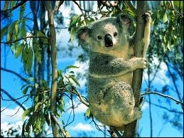 De quoi se nourrit exclusivement le koala ?
