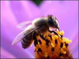 Que se passerait-il si les abeilles venaient à disparaître ?