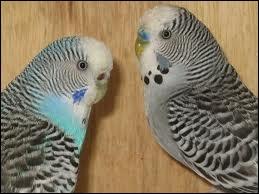 Comment reconnaître le mâle de la femelle chez les perruches ondulées ?