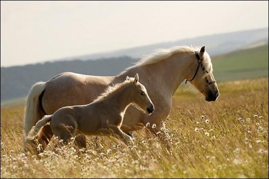 Quelle distance peut parcourir un cheval par jour pour se nourrir ?