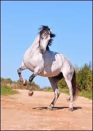 Quelle est la race de ce cheval ? (plusieurs réponses possibles)