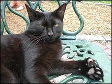 Quel est cet écrivain qui avait un peu moins de 100 chats polydactyles dans sa villa de Keywest en Floride ?