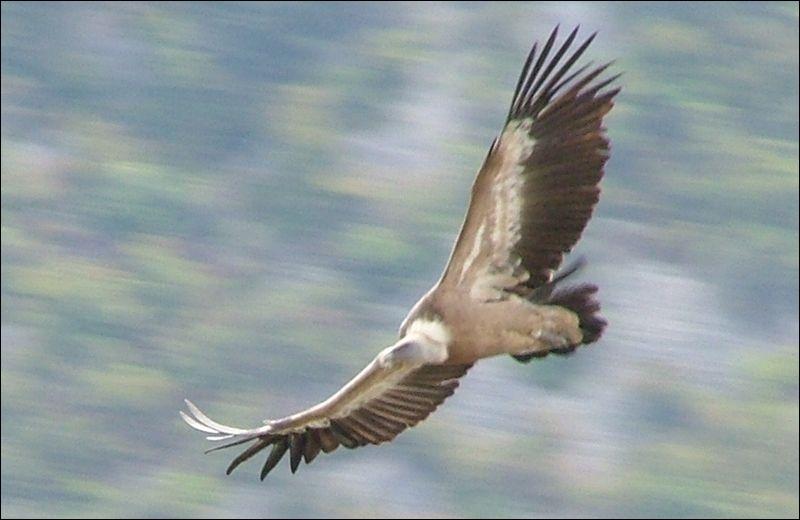 On me reconnait aisément par ma très grande taille et à ma silhouette. Mes larges ailes peuvent sembler pointues en vol plané. Je suis ?