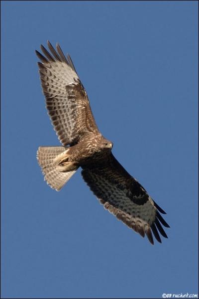 Mes ailes sont larges un peu relevées en vol à voile. J'ai le dessin alaire différent de celui de la bondrée apivore. Je suis...