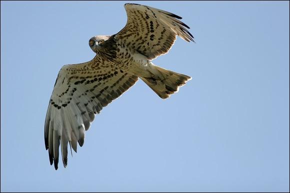 Je suis assez grand, pâle, souvent en vol sur place dans les courants de pentes. Ma queue est le dessous de mes ailes sont typiquement barrés; je n'ai pas de marque sombre au poignet. Je suis...