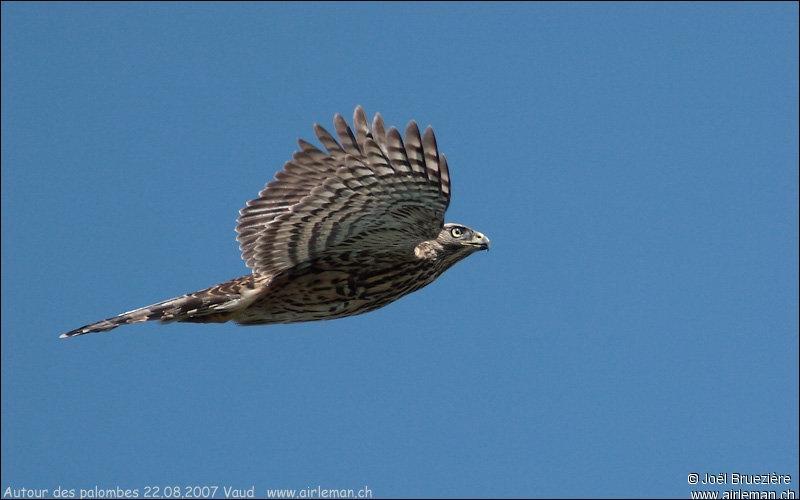 Si on doit me comparer à l'Épervier d'Europe, j'ai le vol plus lourd, mes ailes sont plus larges et ma queue plus courte. Je suis...