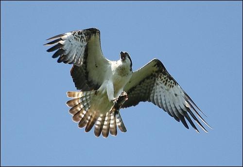 J'ai les ailes arquées en vol plané. le dessous blanc avec des taches noires aux poignets. Je suis...