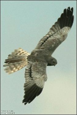 Je fais penser au Busard Saint-Martin, mais j'ai des barres noires aux ailes. Ma femelle est très proche de celle du Saint-Martin, mais ses ailes sont plus étroites. Je suis...