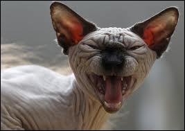 Chez l'humain, quels sont les deux muscles qui amènent les coins de la bouche vers les oreilles, et qui agissent principalement dans l'action du rire ?