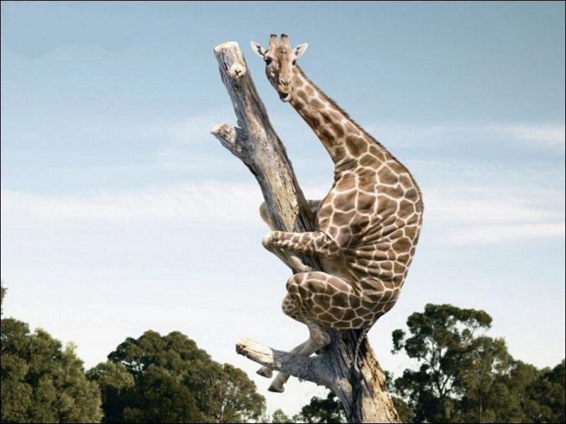 Certains acacias d'Afrique ont développé une stratégie pour se préserver des girafes qui broutent leurs pousses, ils augmentent leur production d'une substance qui rend les feuilles amères. Laquelle ?