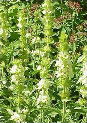 Que sont ces fleurs de la famille des lamiacées ?