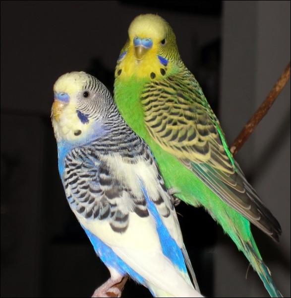 Quizz oiseaux exotiques quiz oiseaux especes - Dessin perruche ...