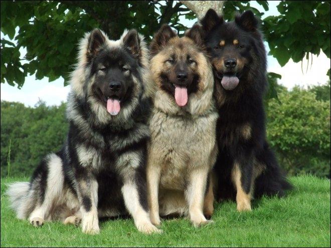 Quel est ce magnifique chien de race ?