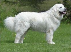 Races de chiens peu courantes