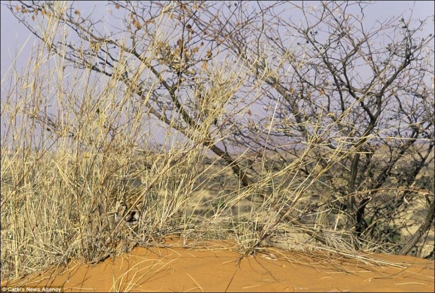 Dans le Kalahari, il produit des courses folles, mais brèves, car il lui faut un certain temps pour récupérer !