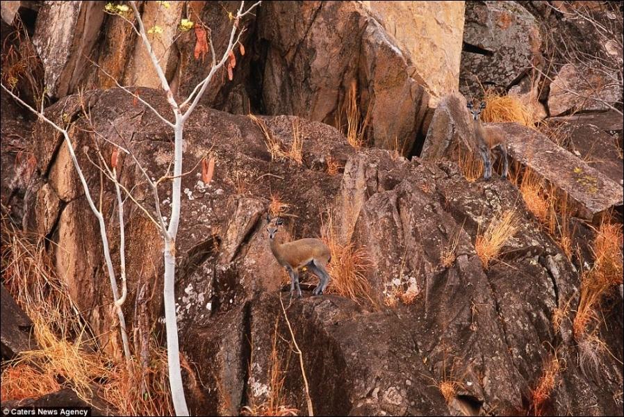 On l'appelle l'oréotrague, c'est une petite antilope qui vit dans des régions montagneuses d'Afrique, combien en comptez-vous sur la photo ?