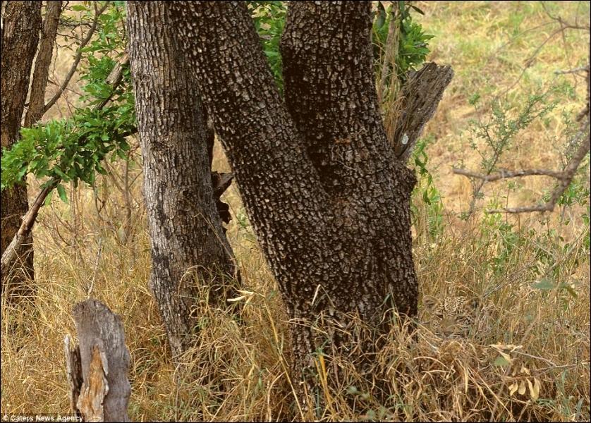 Il n'est pas facile à apercevoir, cet habile chasseur africain !