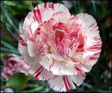Il en existe plus de 300 espèces, bien souvent, elle borde les jardins, quelle est cette fleur ?