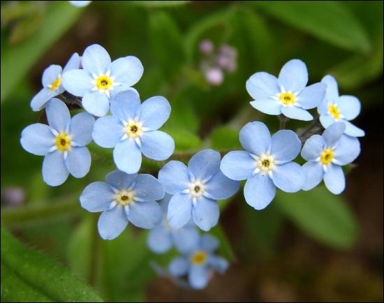 Bleue, parfois rose ou blanche, on retrouve cette fleur dans les jardins. Il s'agit...