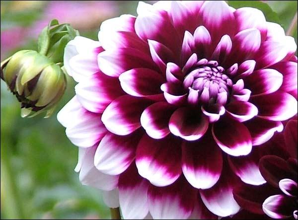 Magnifique fleur à bulbe, je suis...