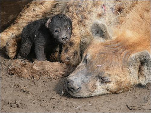 Faites un effort et reconnaissez l'espèce à laquelle appartiennent cette femelle et son petit !