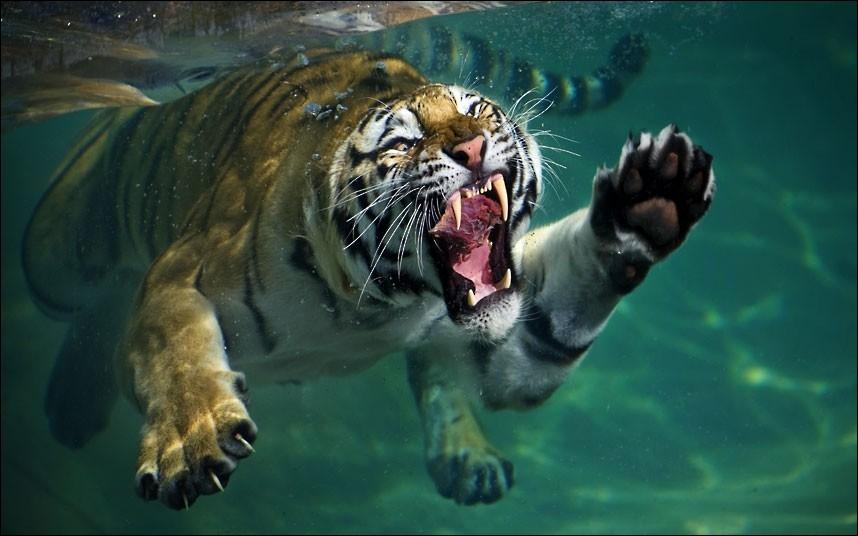 Tout comme le jaguar, il est l'un des rares félins à aimer l'eau !