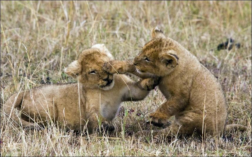 Quelle est la particularité du lion du Parc National du Tsavo, au Kenya ?