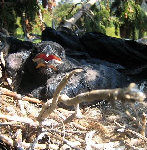 Comment appelle-t-on le petit du corbeau ?
