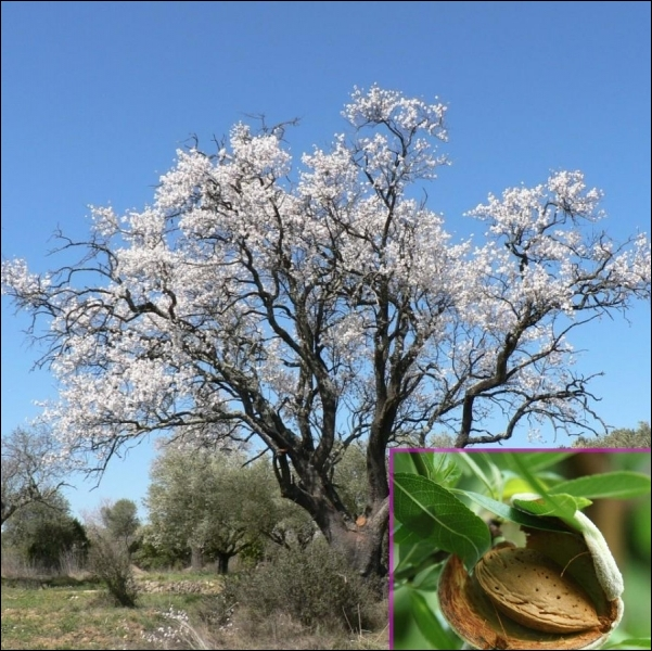 Ce fruit sec entre dans la composition de la frangipane, délicieuse galette des Rois. Quelle région ou pays est le plus gros producteur mondial d'amandes ?