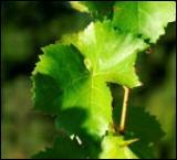 Pourquoi donc les enfants aimaient-ils suçoter les tiges de la vigne ?